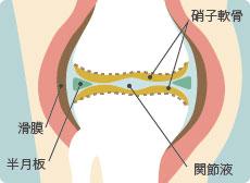 正常な膝関節