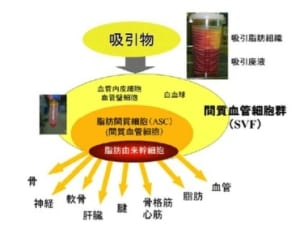 脂肪組織に含まれる細胞群と幹細胞