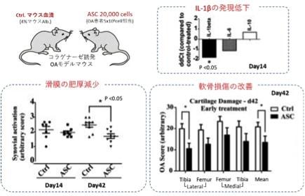 脂肪幹細胞の抗炎症と軟骨保護作用が分かる試験結果