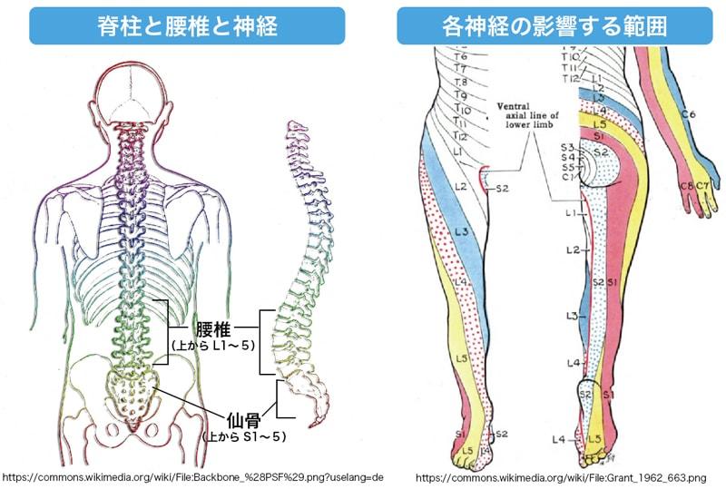 背骨の種類と神経の及ぶ範囲